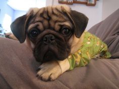 Adorable pug in monkey pjs.