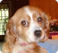 Crump, TN - Springer Spaniel. Meet Bella, a dog for adoption. http://www.adoptapet.com/pet/12961381-crump-tennessee-springer-spaniel