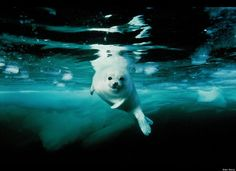 Harp seal pup. Canada, 2002