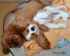 These two are adorable - Ruby and Blenheim Cavalier puppies