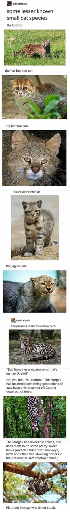 sílverhawk some lesser known small cat species the kodkod – popular memes on the Cute Funny Animals, Cute Cats, Funny Cats, Animal Facts, Animal Memes, Animals And Pets, Baby Animals, Cat Species, Small Cat