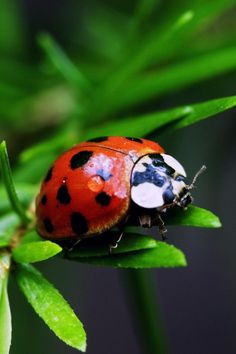 Ladybugs / Lady Birds : More At FOSTERGINGER @ Pinterest
