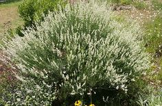 White Grosso Lavender.  Via Mountain Valley Growers.  A white lavender for zone 5.  Hooray!