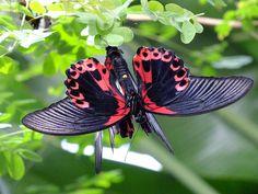 ✯ Scarlet Mormon Butterflies Float Like A Butterfly, Butterfly House, Pink Butterfly, Beautiful Bugs, Beautiful Rose Flowers, Beautiful Butterflies, Pink Mustang, Butterfly Species, Sting Like A Bee