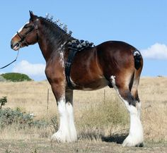 Willow Way Firestone - Clydesdale - Show Horse Gallery, A Different Horse is Featured Every Day