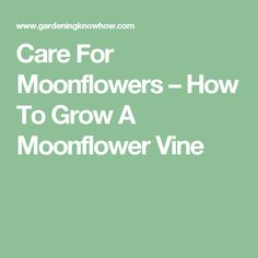 Care For Moonflowers – How To Grow A Moonflower Vine