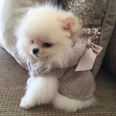 Pomeranian little lady - Tap the pin for the most adorable pawtastic fur baby apparel! You'll love the dog clothes and cat clothes! <3 #Pomeranian