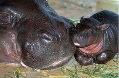 I be lookin fer ya, mommie    Miami Zoo - Pygmy Hippo