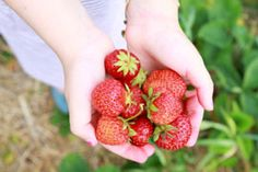Traveling to the farm and being able to experience Strawberry Picking in Korea is a must! The Strawberries taste amazing when picked fresh and ripe! Strawberry Farm, Strawberry Picking, Nutritional Yeast, Nutritional Supplements, Patbingsu, Sante Bio, Strawberry Nutrition Facts, Fruit Benefits, Living A Healthy Life
