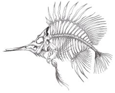 Dessin d'un poisson squelette/ Drawing of a Skeleton fish