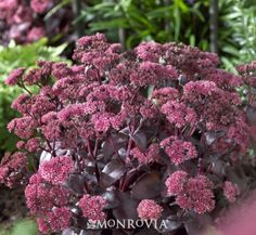 Black Beauty® Stonecrop (Sedum Black Beauty®) - Monrovia - Deciduous;  Cold hardiness zones:	3 - 9;  Light needs:	Partial to full sun;  Water Needs:	Once established, needs only occasional watering;  Average landscape size:	Reaches 18 - 20 inches tall;  Growth rate: Moderate