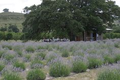 Farm Activities — Hill Country Lavender