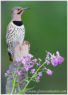 Northern Flicker - love to watch them poking around in the yard for insects