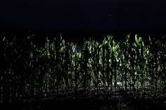 Something In The Corn! - Placed a remote flash in the corn and shot this.  Instant alien invasion.