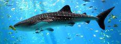 tiger shark wallpaper free