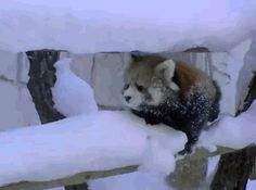 Winter is hard for Red Pandas