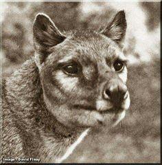 Thylacine (Thylacinus cynocephalus)