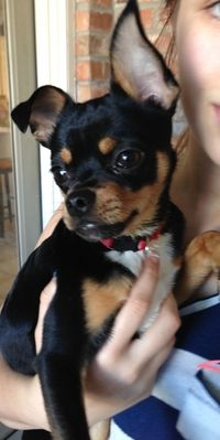 We found a young male black dog with tan and white markings Saturday 2/2 in Port Neches.  He looks like part Chihuahua, part mini-pinscher.  Very small, at most 5 pounds, wearing a red collar.  We would love to get him back to his owner!  He is very sweet.  Please call Denise at 409-718-5221.