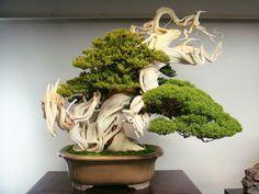 Bildergebnis für bonsai nadelbaum kaufen