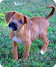 Bedminster, NJ - Beagle/Boxer Mix. Meet Phoebe, a puppy for adoption. http://www.adoptapet.com/pet/11626080-bedminster-new-jersey-beagle-mix