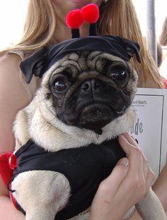 Pug In a Costume