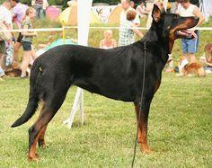 Beauceron - Adult & Puppy Pictures, Size, & Temperament