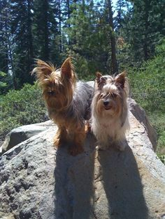 Pictures of Biewer Yorkie Dog Breed