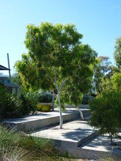 Eucalyptus victrix, what an beaut tree