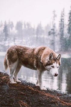 Wonderful All About The Siberian Husky Ideas. Prodigious All About The Siberian Husky Ideas. Beautiful Wolves, Beautiful Dogs, Animals Beautiful, Cute Animals, Cute Husky, Husky Puppy, Red Husky Puppies, Cute Puppies, Cute Dogs