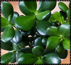 Mini Jade Live Succulent Crassula Argentea Compacta by Ourbuckeyefarms on Etsy