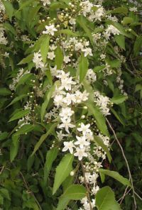 <em>Hoheria sexstylosa</em>, foliage and flowers. Image - Peter Sweetapple
