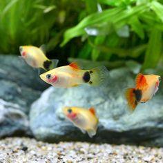 (熱帯魚)イエローミッキーマウスプラティ(4匹) 北海道・九州・沖縄航空便要保温 チャーム 本店スマートフォン用サイト