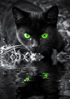 Black Cat green eyes reflection in water Warrior Cats, Pretty Cats, Beautiful Cats, Animals Beautiful, Gorgeous Eyes, Amazing Eyes, I Love Cats, Crazy Cats, Cool Cats