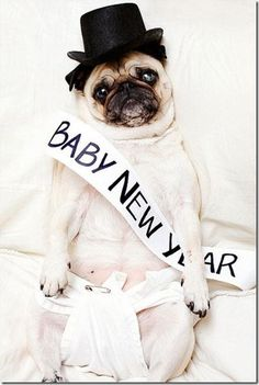 Happy New Year Pug! Another super cute new year's pug :-) Love the diaper. Portrait Photography Tips, Animal Photography, Pugs In Costume, Kid Costumes, Baby New Year, Pugs And Kisses, Cute Pugs, Pug Love, Dog Portraits