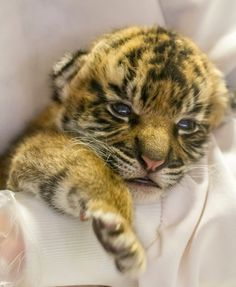 Thanks to Tyler Green for this adorable photo of the Safari Park's new Sumatran tiger cub.
