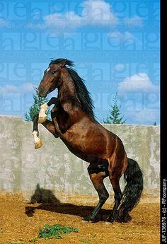 Barb Horse   Barb horse - rearing. JUF-136976 © RFcompany