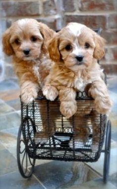 <3 Cavapoo Puppies