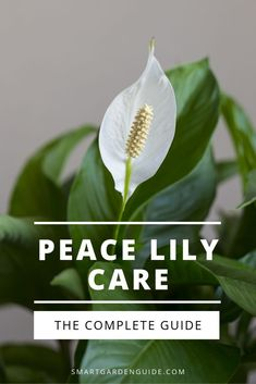 House Plants 28715 Everything you need to know about Peace Lily plant care. Learn to grow and care for the popular Peace Lily Houseplant. I cover everything, from watering to propagation to help you keep your Peace Lily thriving. Peace Lily Indoor, Peace Lily Plant Care, Peace Plant, Peace Lily Flower, Peace Lillies, Diy Hydroponik, Lilly Plants, Household Plants, Inside Plants