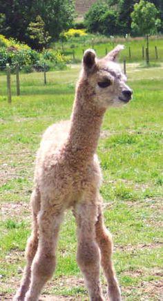 aww baby alpaca!
