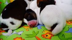 Our little noses and tails JRT