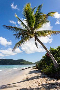 Palm Tree, Culebra -Puerto Rico
