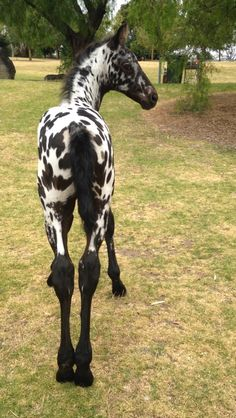 Cute foal with gorgeous spots and long wobbly legs. Knabstrupper Friesian
