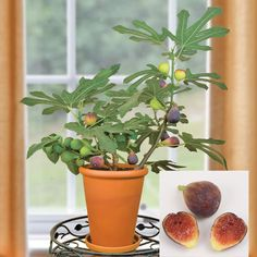5 Fruit To Grow In Containers: Fig