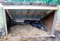 Pig Pen Ideas Discover How to Start Pig Farming Today - Countryside I hope this gives you the guidance and inspiration to learn how to start pig farming on your homestead. Pig Farming, Backyard Farming, Chickens Backyard, Pig Shelter, Animal Shelter, Horse Shelter, Kune Kune Pigs, Pot Belly Pigs, Pig Pen