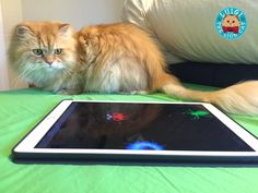 Luigi the Lion Cat Loves to Play Tablet Games