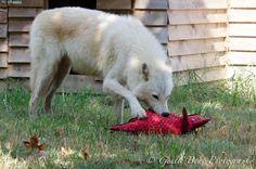 ACHILLES, High content arctic wolf mix wolfdog, born June 2012. Now in Saint Francis Wolf Sanctuary.