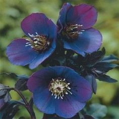 """Blue Lady"" Hellebores. These winter blooming flowers open face down. They make excellent floating arrangements and come in a variety of colors."