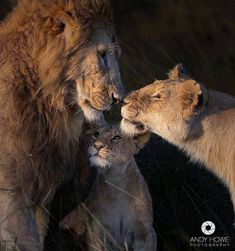 Photo of © Andy Home Photography # Destination_wild – Family Lions Lion Animals And Pets, Baby Animals, Cute Animals, Beautiful Creatures, Animals Beautiful, Big Cats, Cats And Kittens, Lion Family, Beautiful Lion
