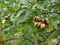 Ohio state tree- Buckeye tree (Buckeye nut). These were everywhere in our neighborhood. We used to make buckeye jewelry and buckeye families.