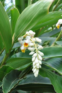 Alpinia zerumbet 'Cream Shell Ginger' - A hardy cold tolerant ginger which produces large pendulous cream-coloured flowers. A great landscaping plant. Tropical Landscaping, Landscaping Plants, Tropical Garden, Tropical Plants, Bali Garden, Tropical Pool, Landscaping Ideas, Exotic Flowers, Tropical Flowers